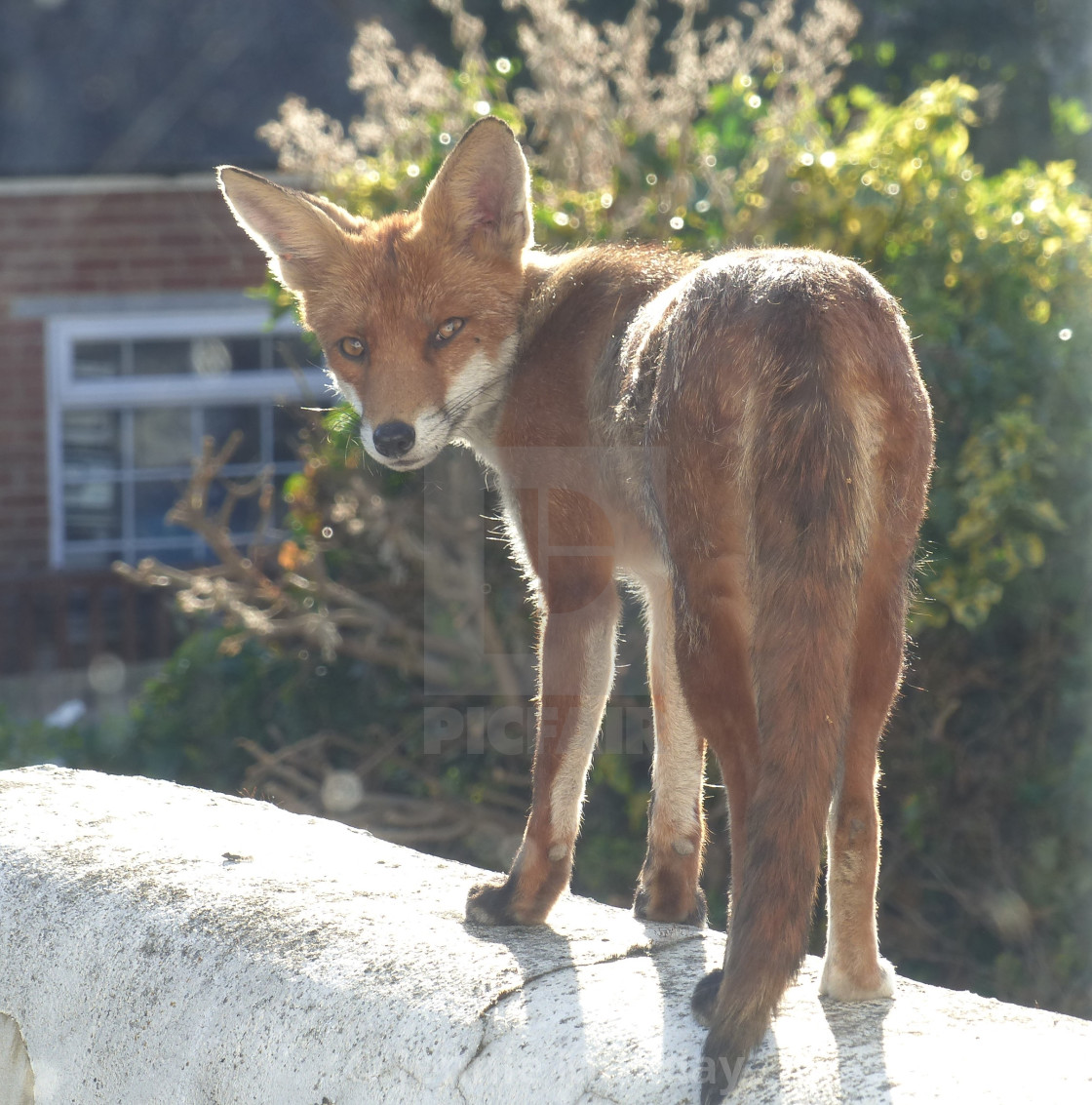 """London Fox"" stock image"