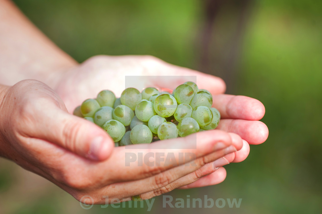 """Green grapes in the female arms"" stock image"