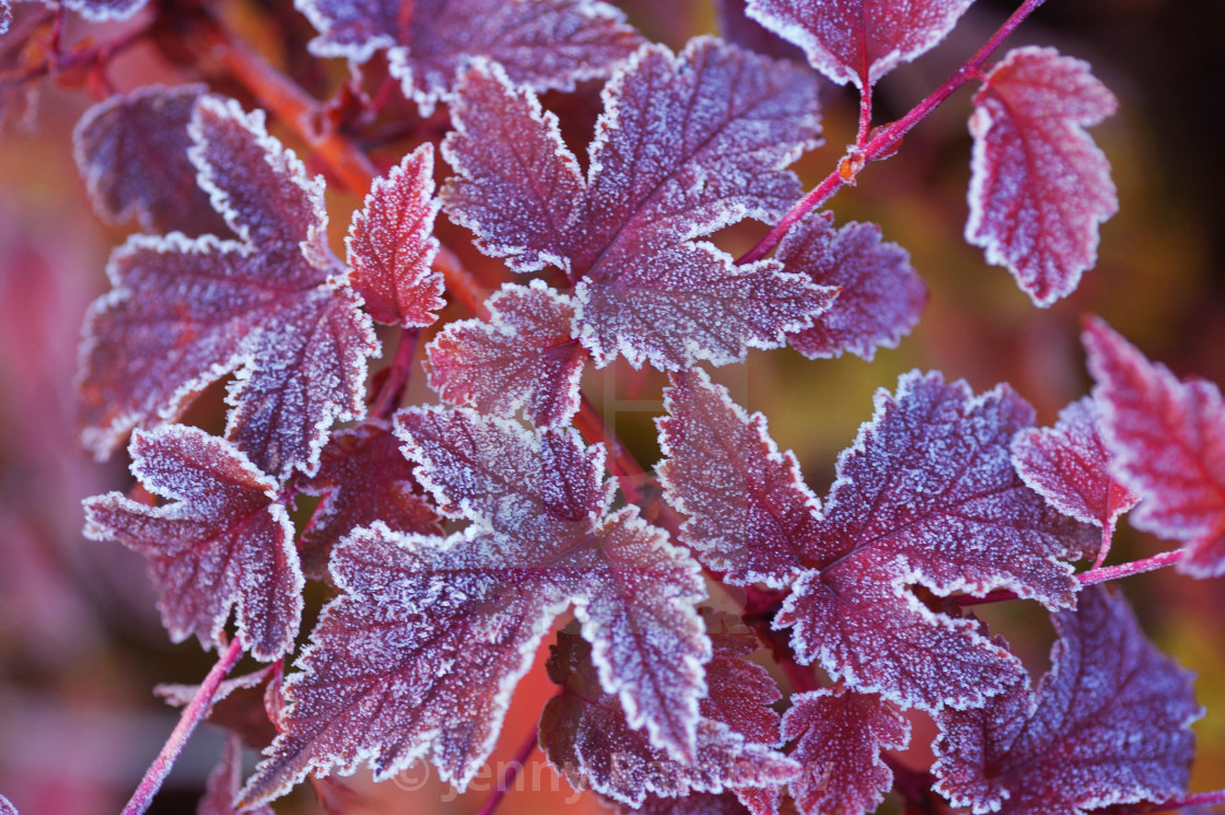 """Purple frosted leaves of Physocarpus"" stock image"