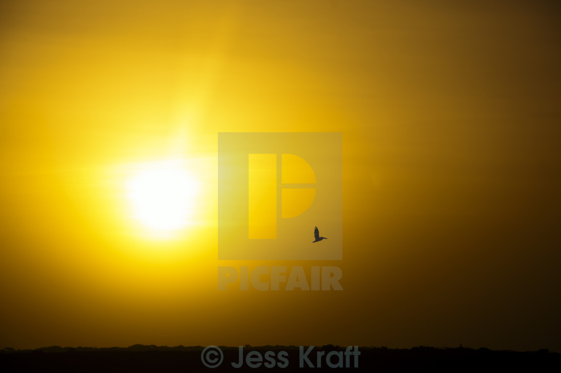 """Pelican Silhouette"" stock image"