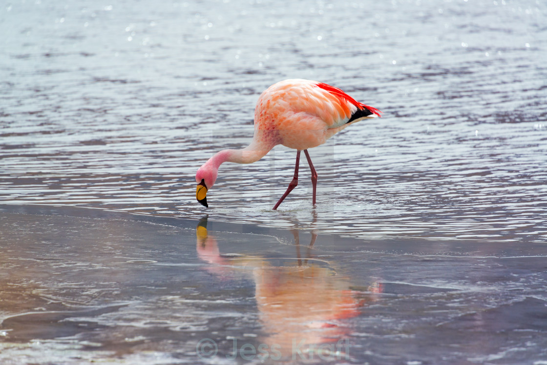 """Flamingo in Icy Water"" stock image"