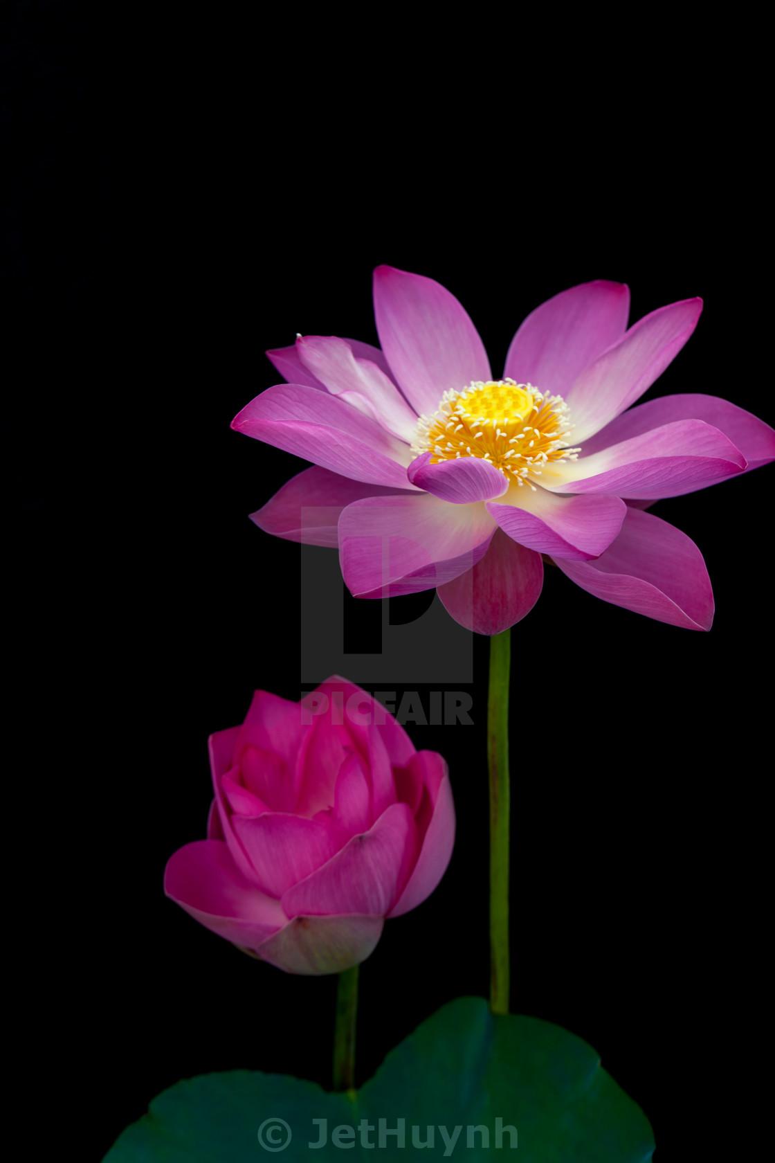 Beautiful lotus flower hoa sen blooming black background beautiful lotus flower hoa sen blooming black background stock image izmirmasajfo