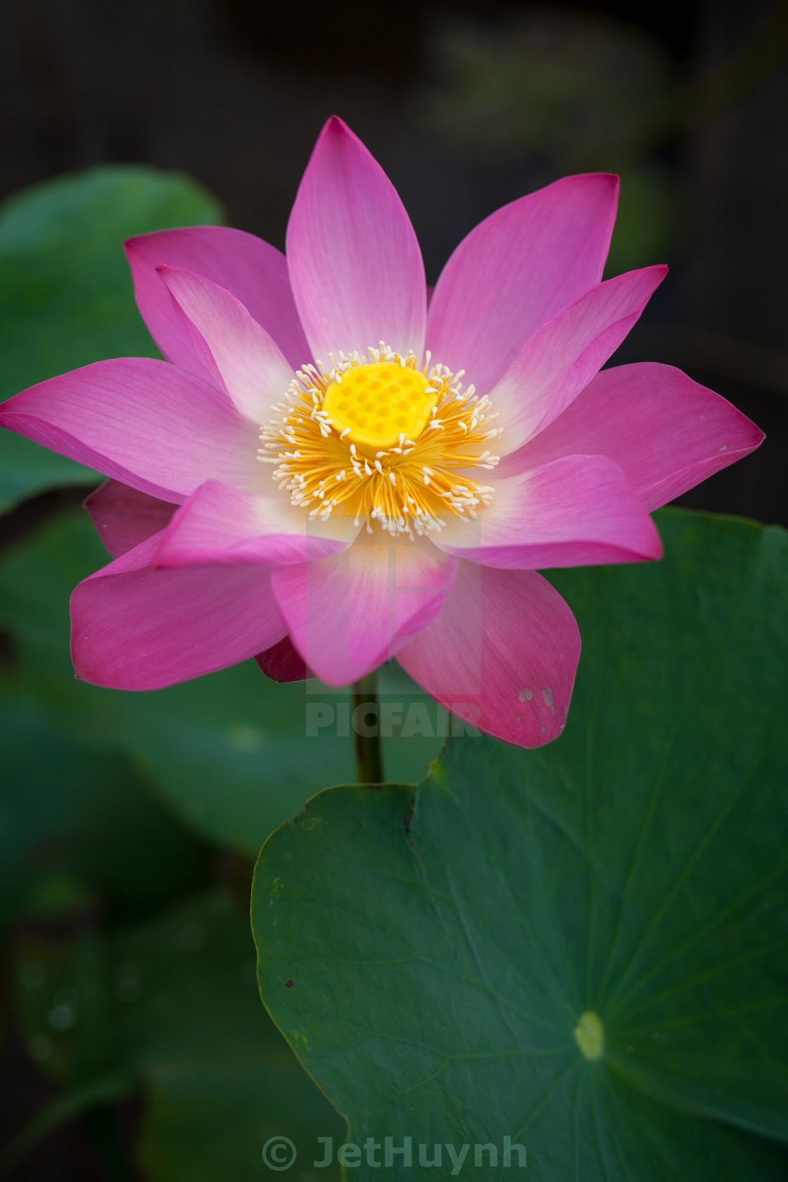 Beautiful lotus flower hoa sen blooming in pond license for beautiful lotus flower hoa sen blooming in pond stock image izmirmasajfo