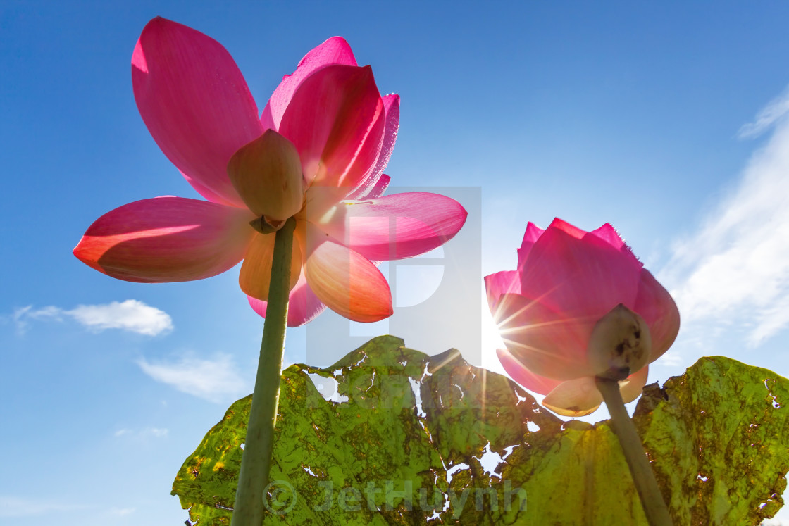 """beautiful lotus flower ( Hoa sen) blooming in the sun"" stock image"
