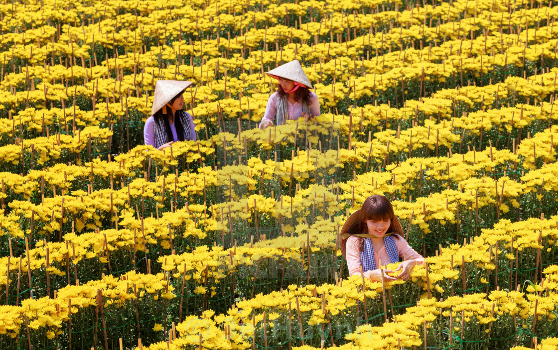 """southern vietnamese women take caring chrysanthemum flowers"" stock image"