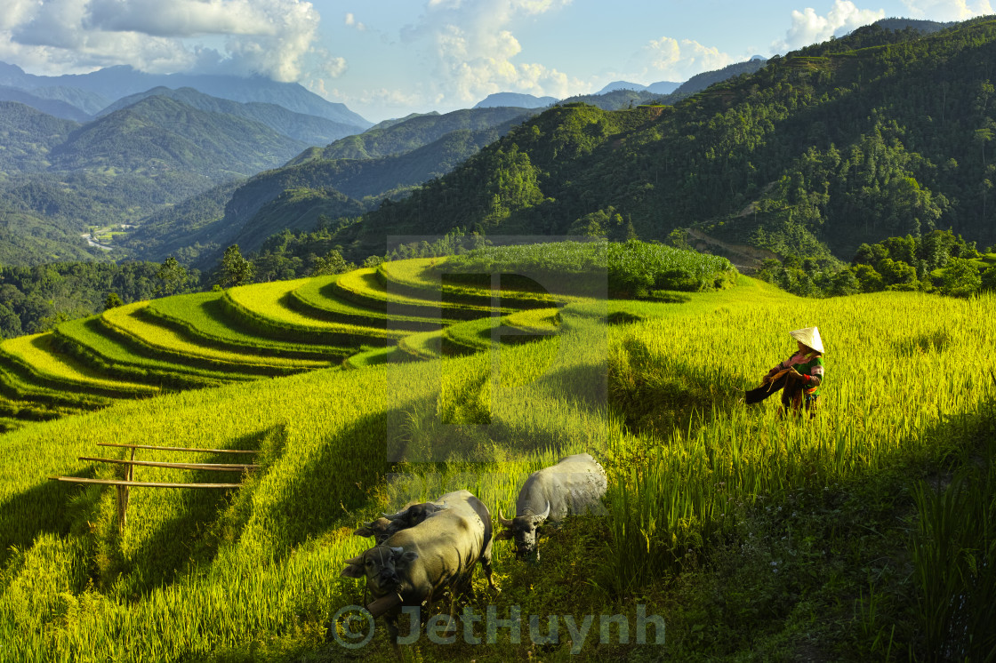 """Women and Buffalo at Rice terraces on mountain"" stock image"