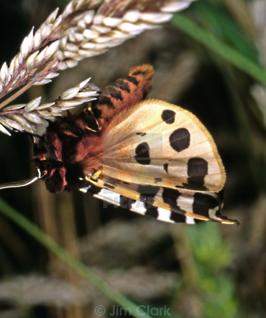 Garden Tiger Moth - License for £6.20 on Picfair