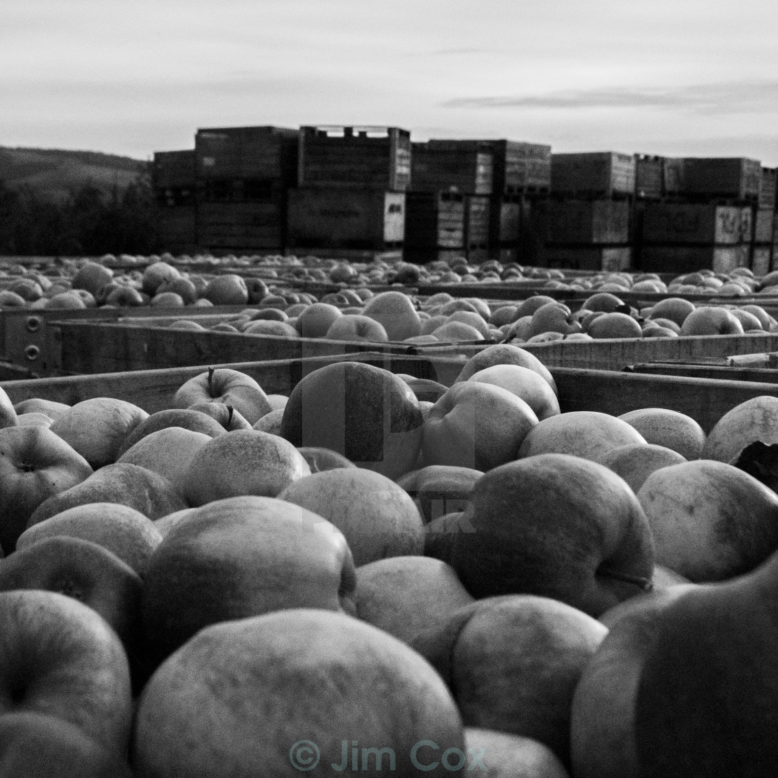 """Harvest Apples greyscale"" stock image"
