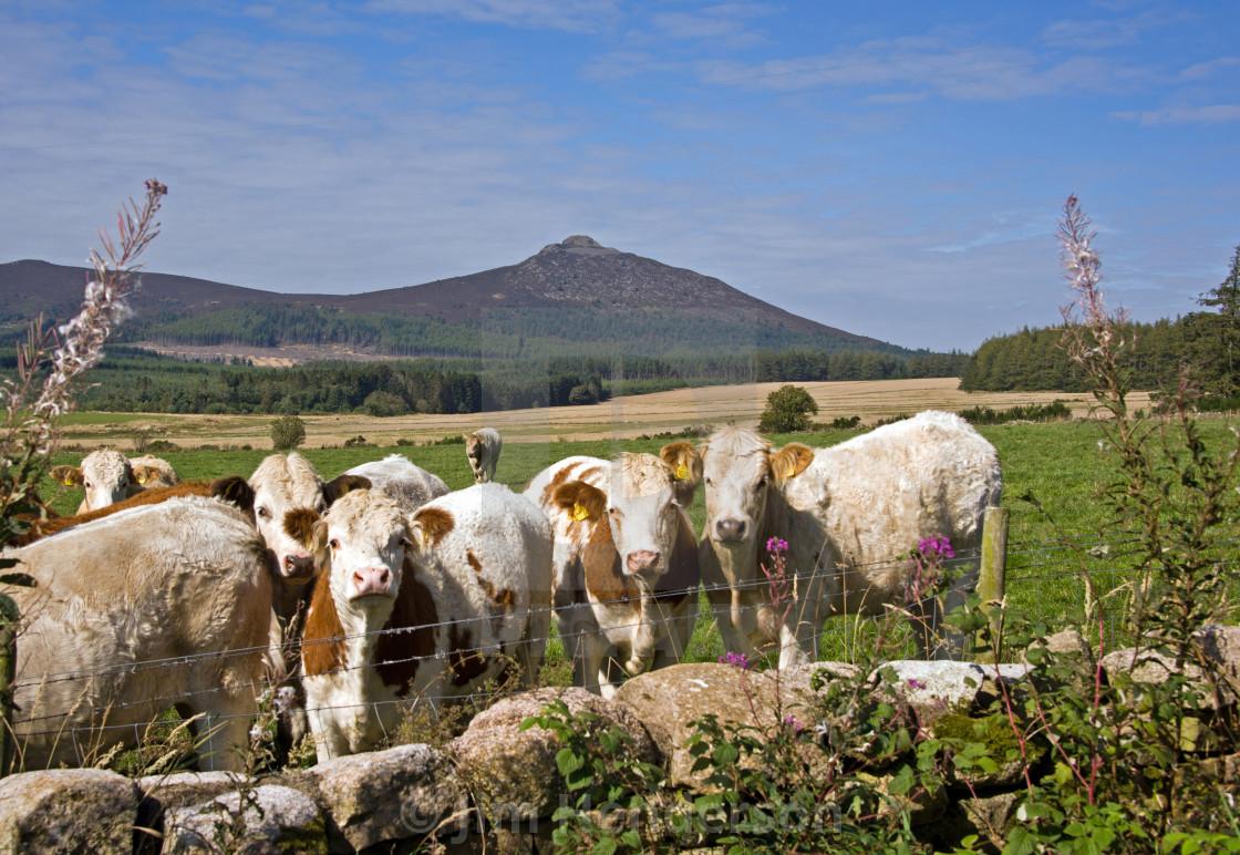 """""""Bennachie & Cattle"""" stock image"""