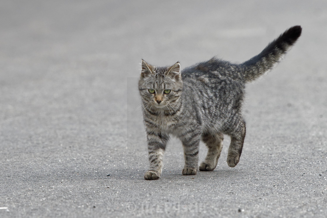 """Portrait of shaggy cat on a asphalt road"" stock image"