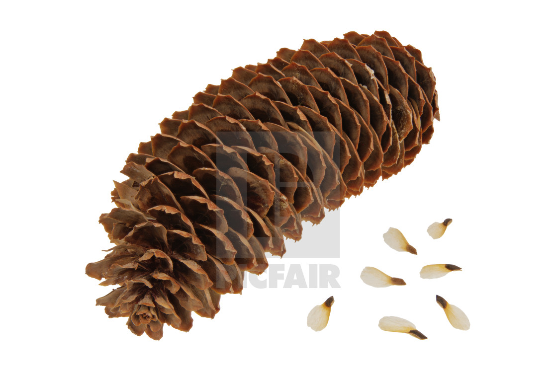 """Spruce cone with seeds on a white background"" stock image"