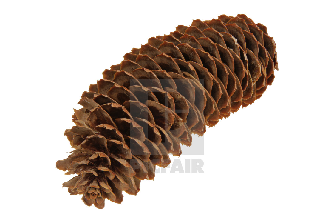 """Spruce cone on a white background"" stock image"