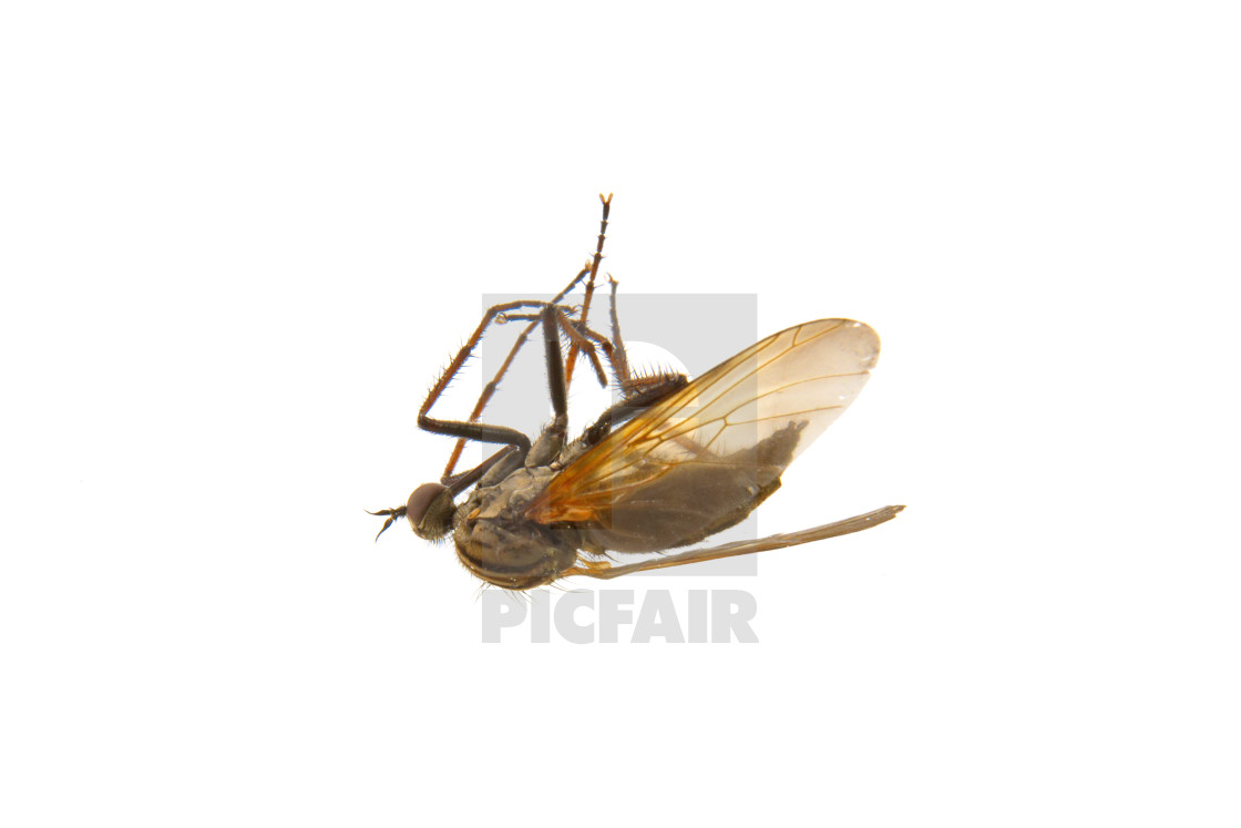 """""""Deadly mosquito on a white background"""" stock image"""