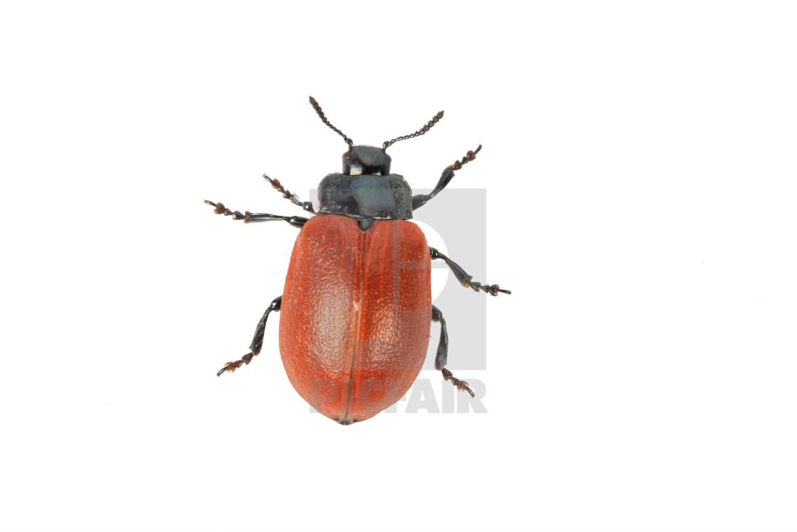 """""""broad-shouldered leaf beetle Chrysomela populi on a white background"""" stock image"""