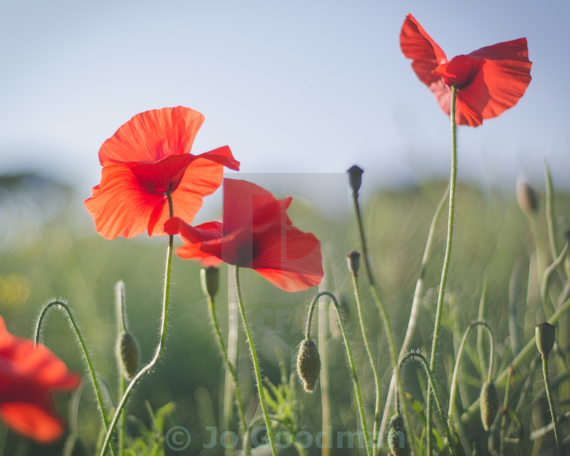"""""""Poppies in the wind"""" stock image"""