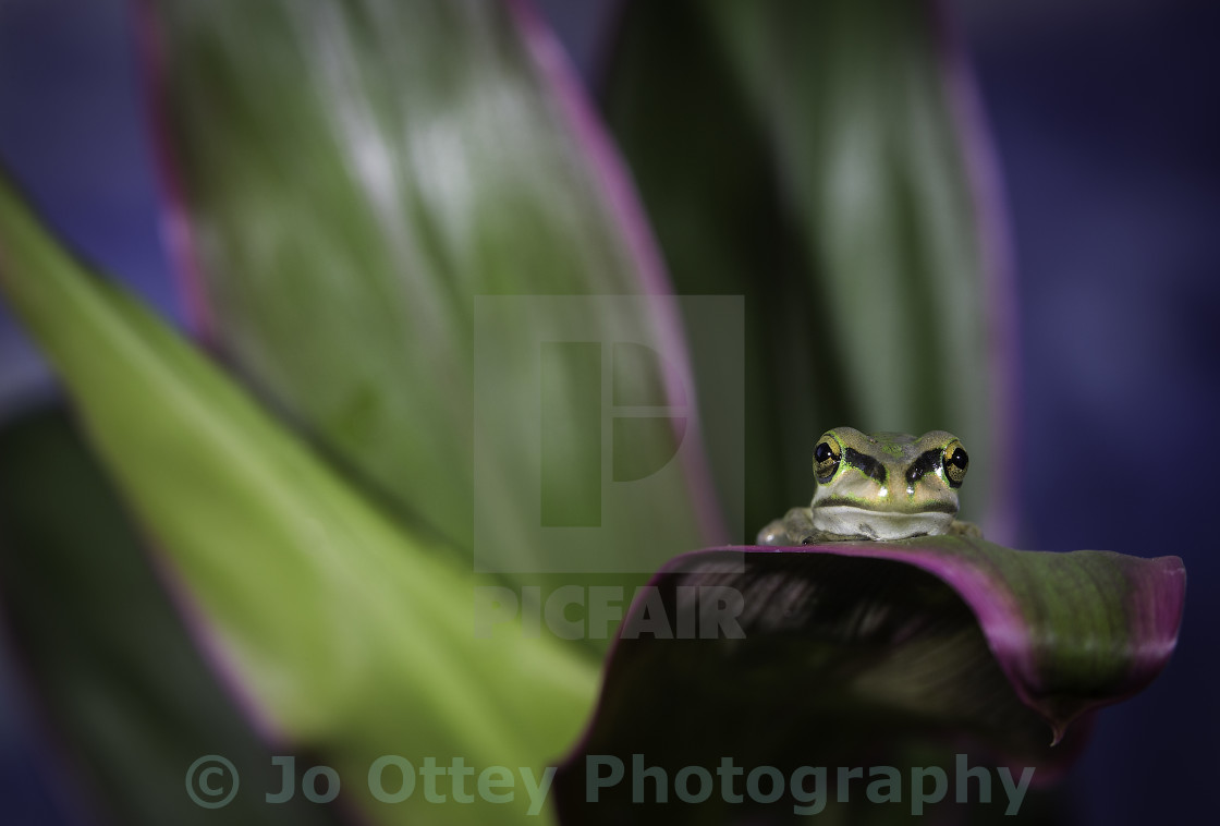"""Resting Frog"" stock image"