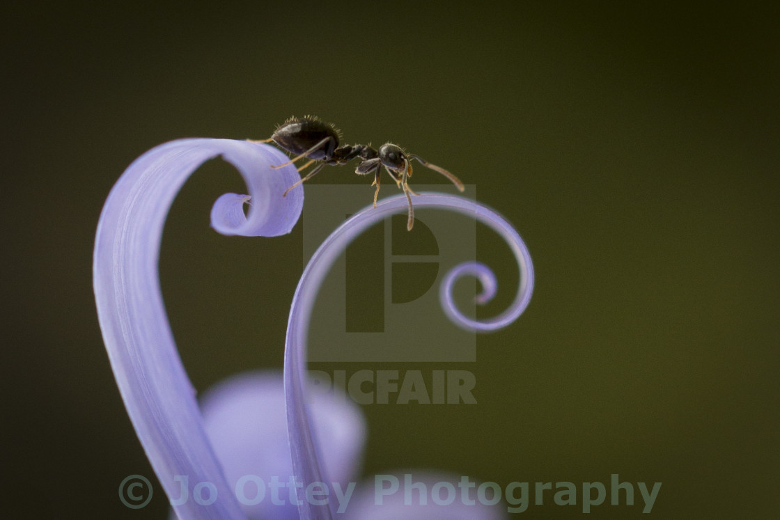 """Ant on Curlz"" stock image"
