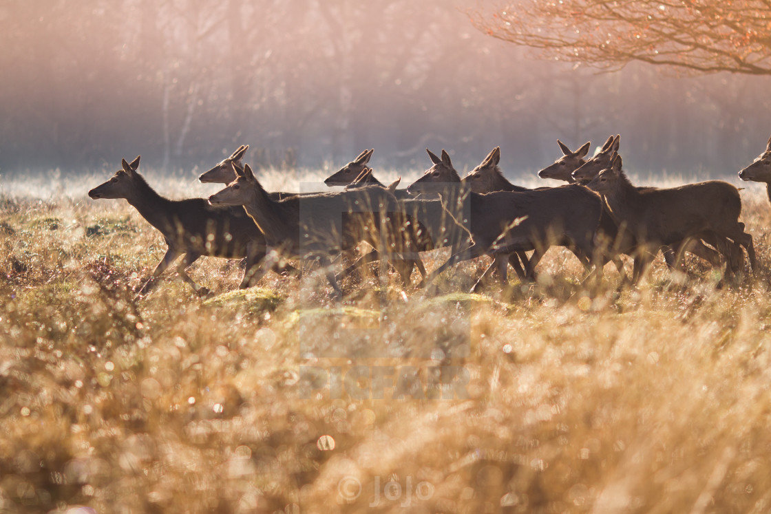 """Deer in Richmond Park"" stock image"