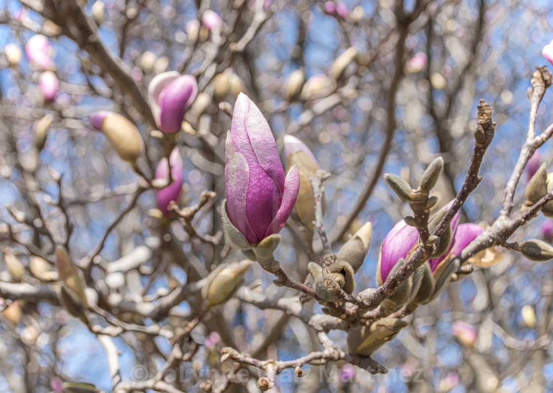 Magnolia Tree Budding License Download Or Print For 1240