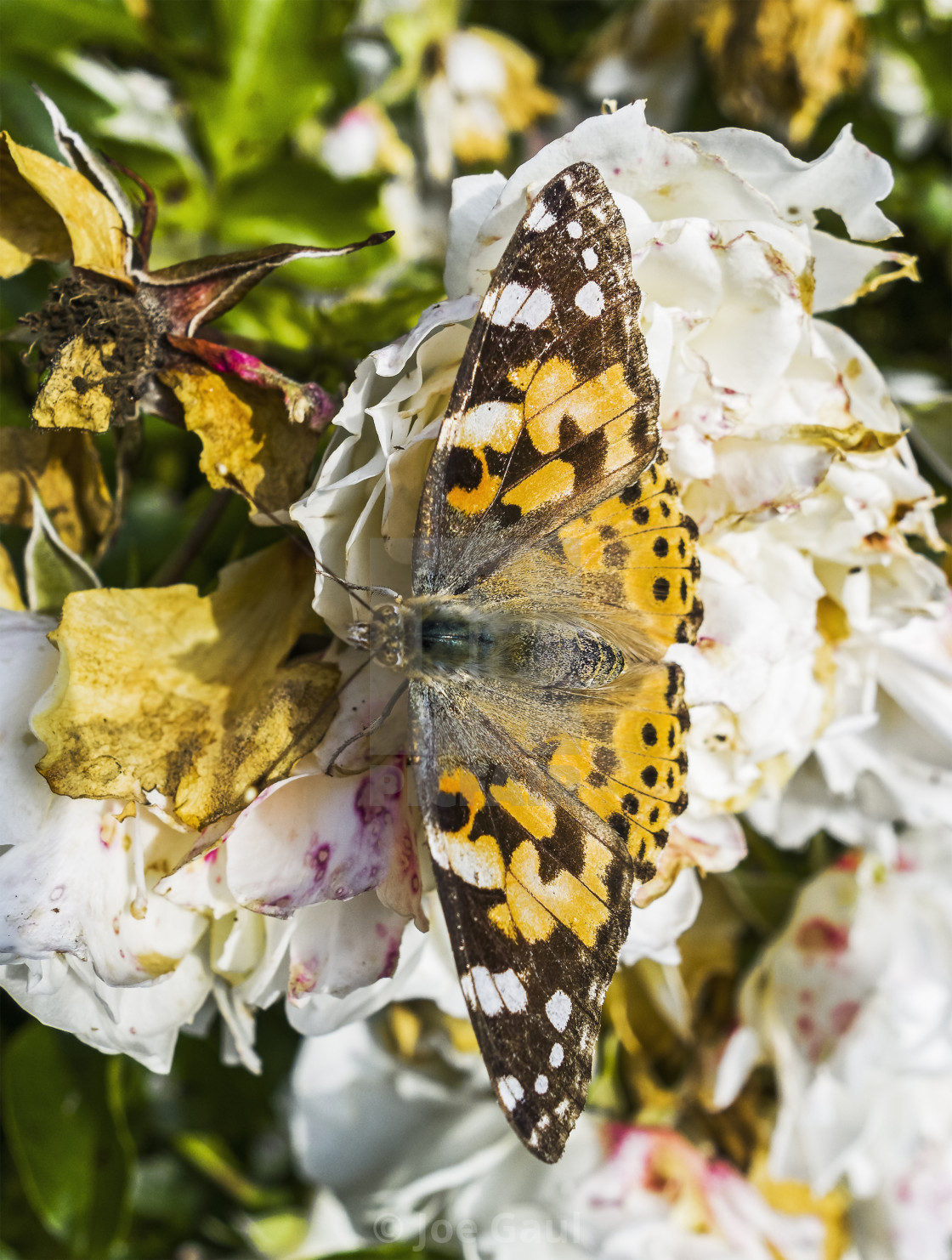 """""""Painted Lady butterfly, Vanessa cardui"""" stock image"""