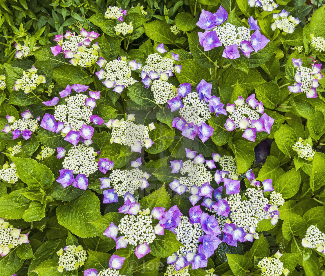 """Hydrangea macrophylla flowering with purple flowers."" stock image"