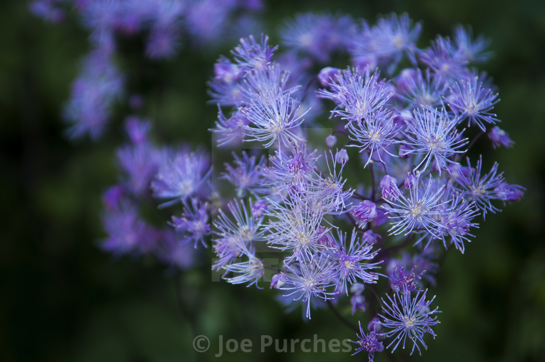 """Greater Meadow Rue"" stock image"