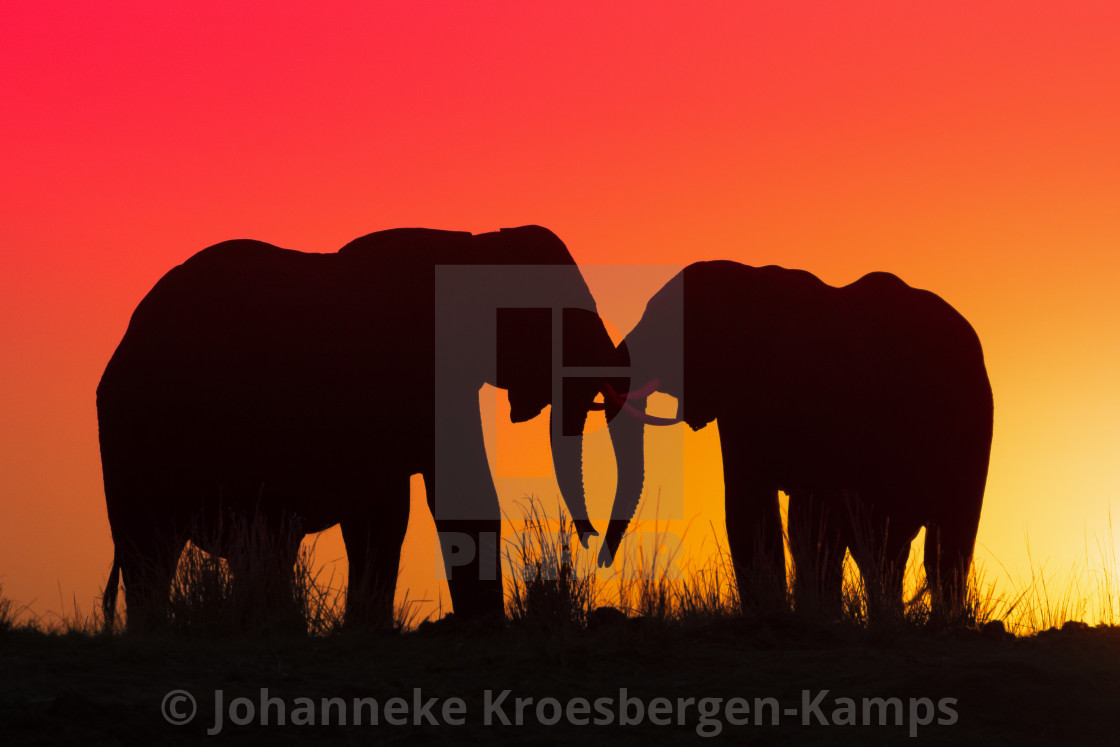"""Elephant sunset"" stock image"