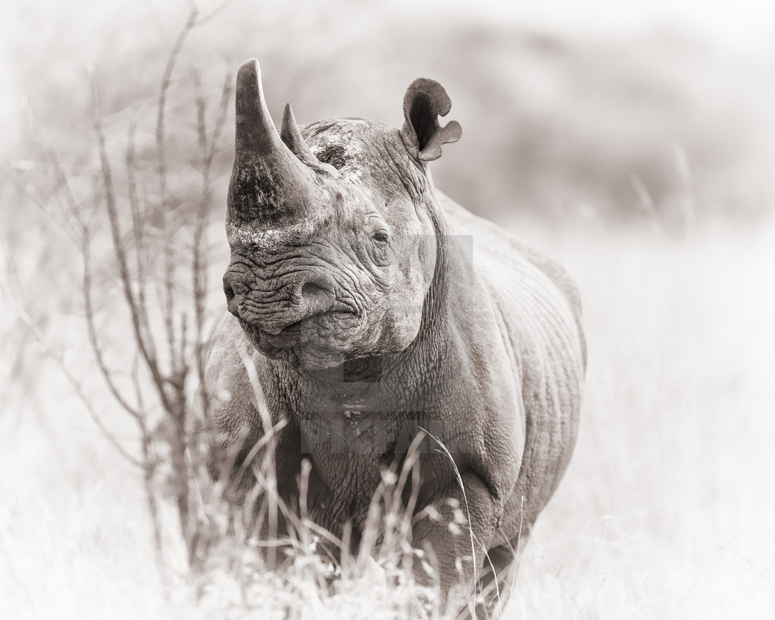 """Black rhinoceros"" stock image"