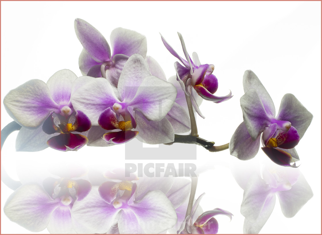 """""""Orchid, high key photo."""" stock image"""