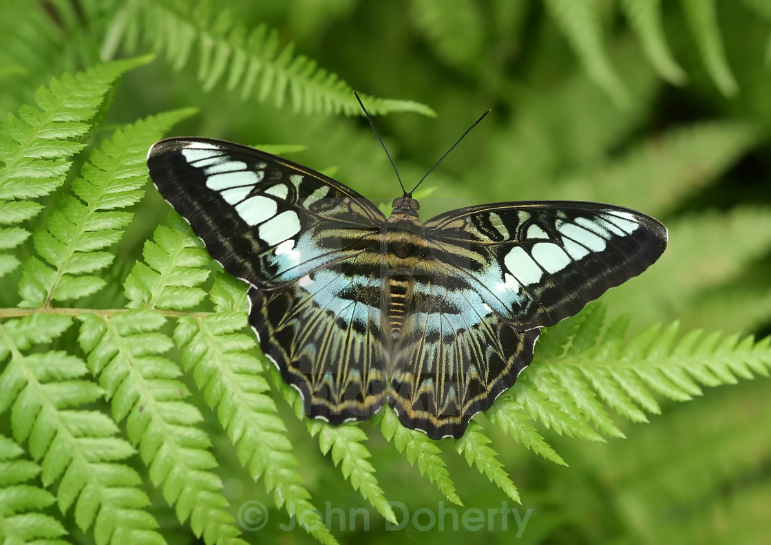 """Clipper Tropical Butterfly"" stock image"