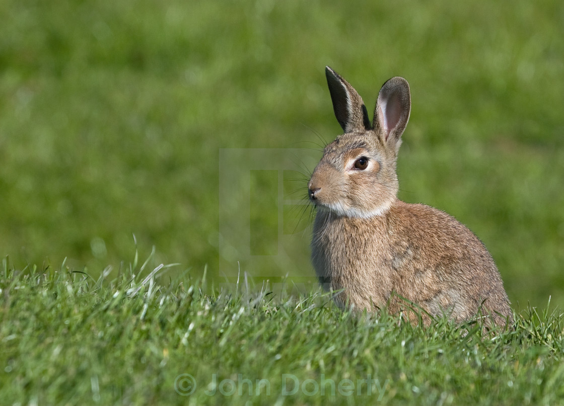 """Rabbit Sitting in the Grass"" stock image"