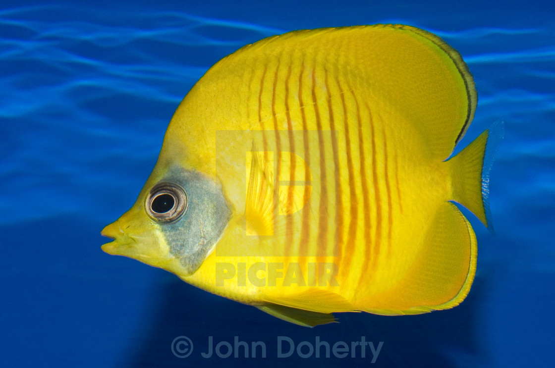 """Addis Butterfly Fish"" stock image"