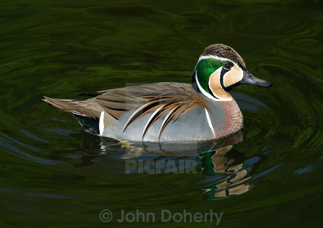 """Baikal Teal Duck"" stock image"