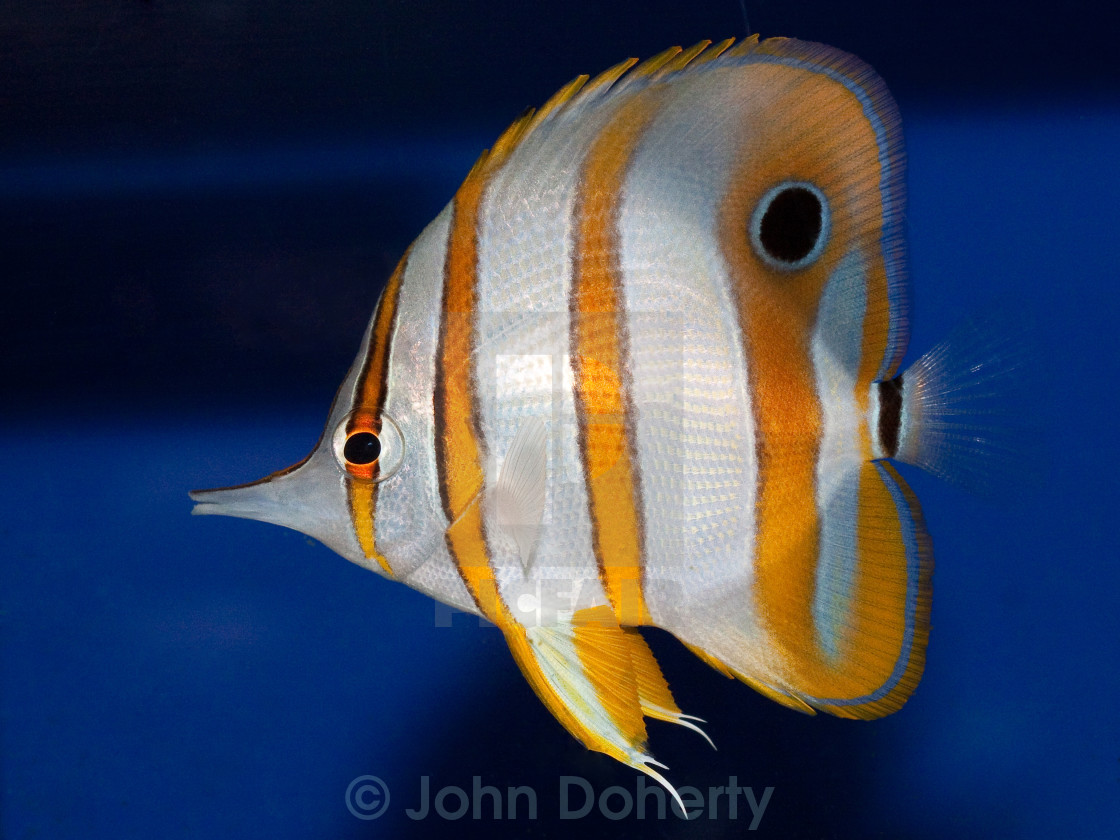 """Copperband Butterfly Fish"" stock image"