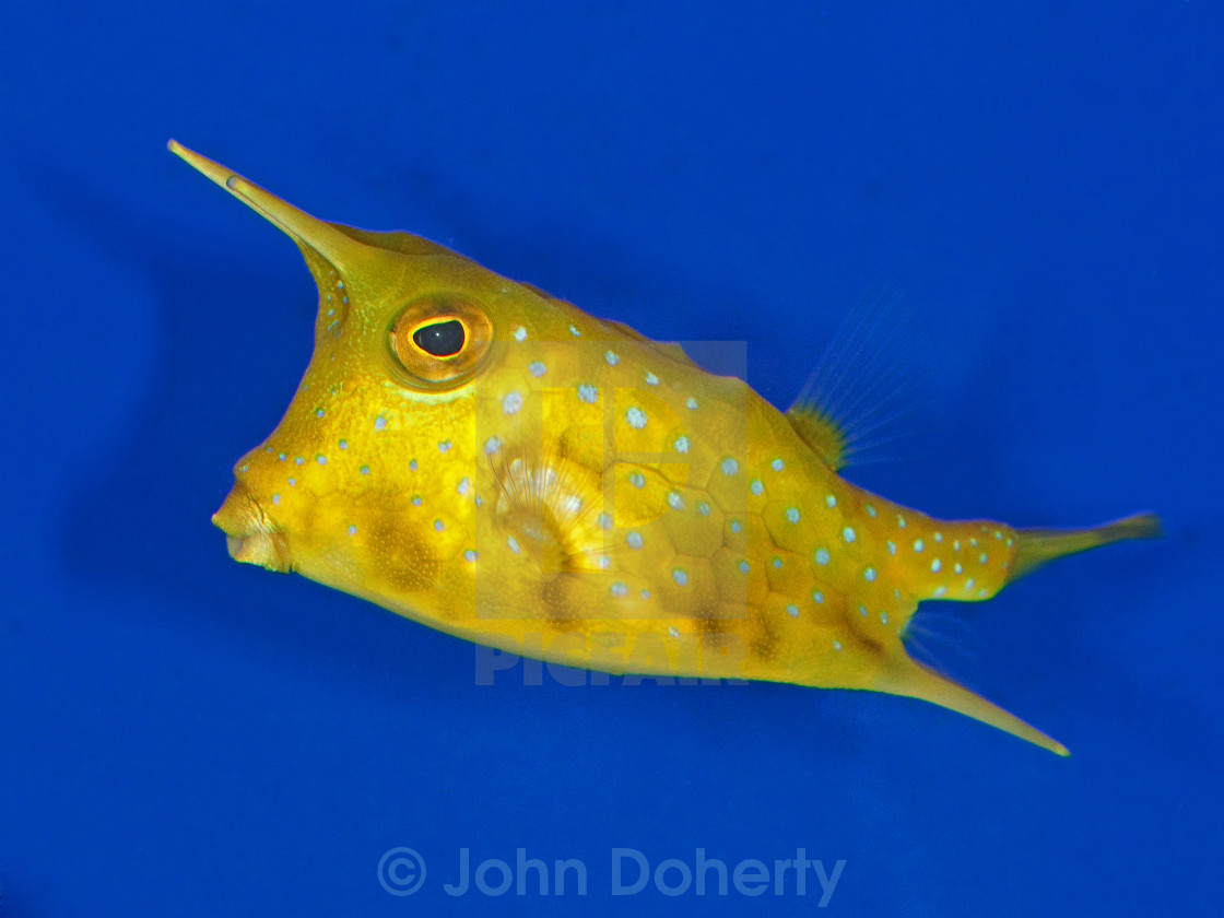 """Cow Fish"" stock image"