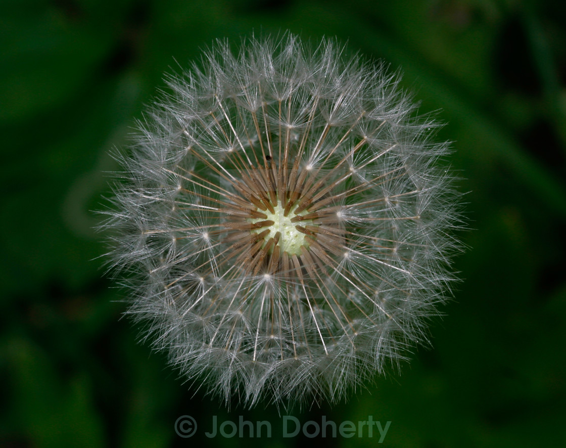 """Dandelion Head in Seed"" stock image"