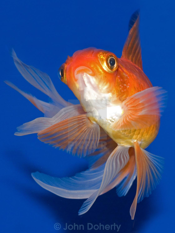 Red Oranda Goldfish - License, download or print for £12 40 | Photos