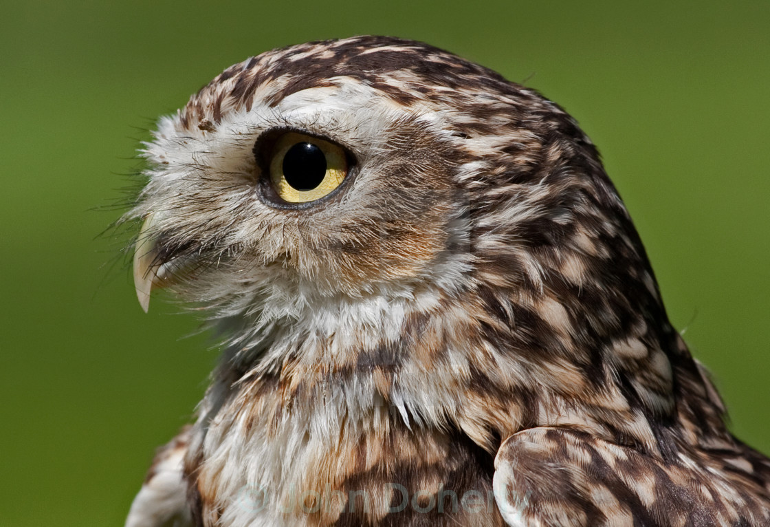 """Burrowing Owl Closeup"" stock image"