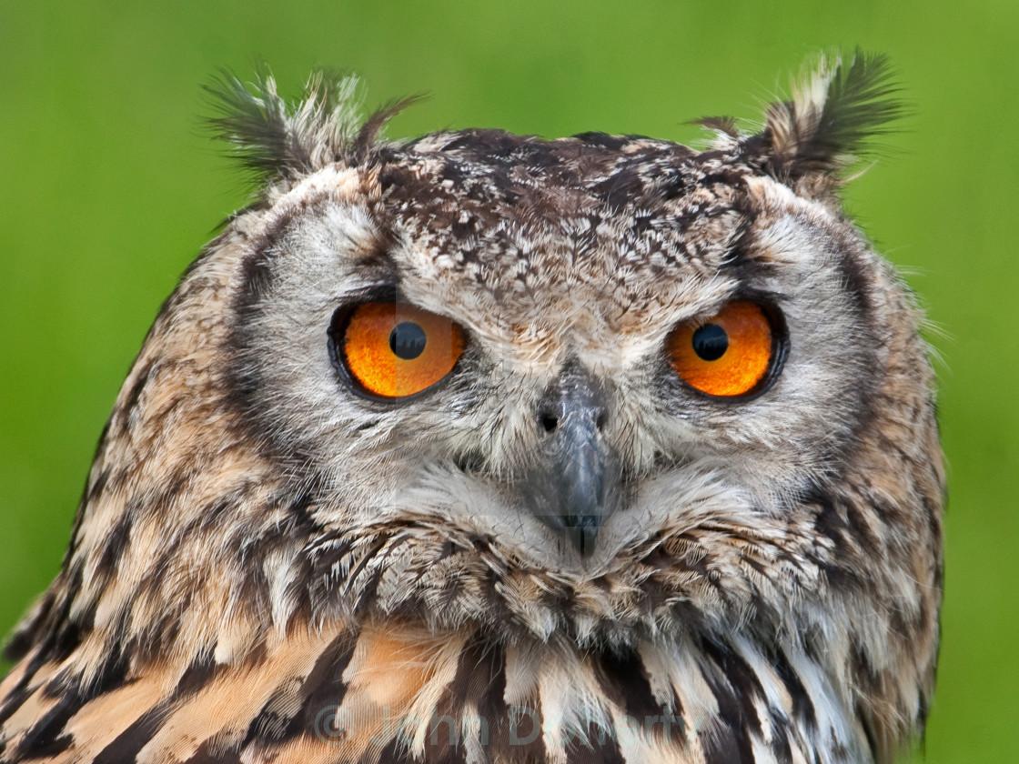 """""""Eagle Owl Closeup 2"""" stock image"""