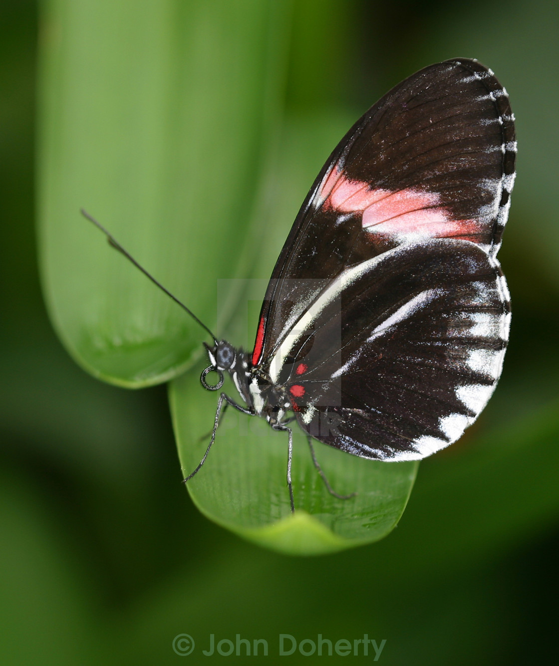 """Hybrid Postman Butterfly on Leaf"" stock image"