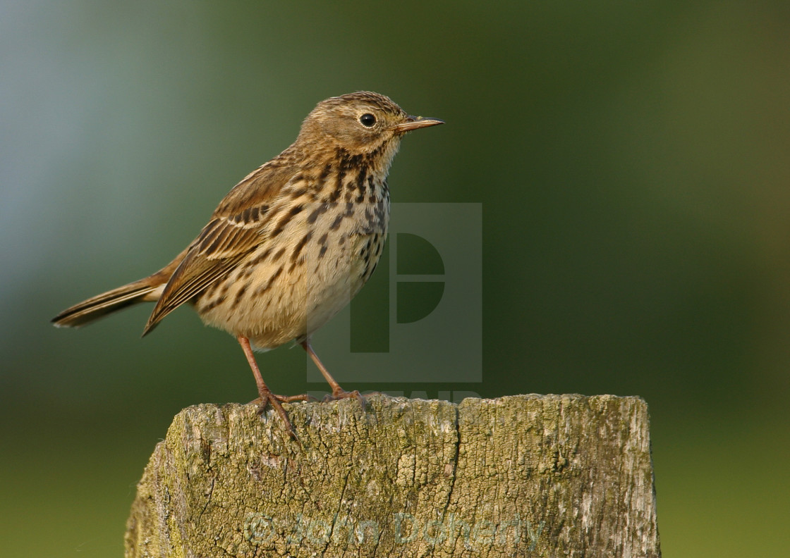"""""""Meadow Pipit on Post"""" stock image"""