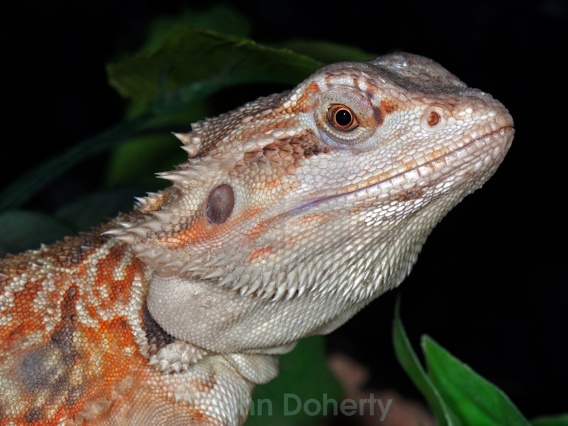 """Leatherback Bearded Dragon Closeup"" stock image"