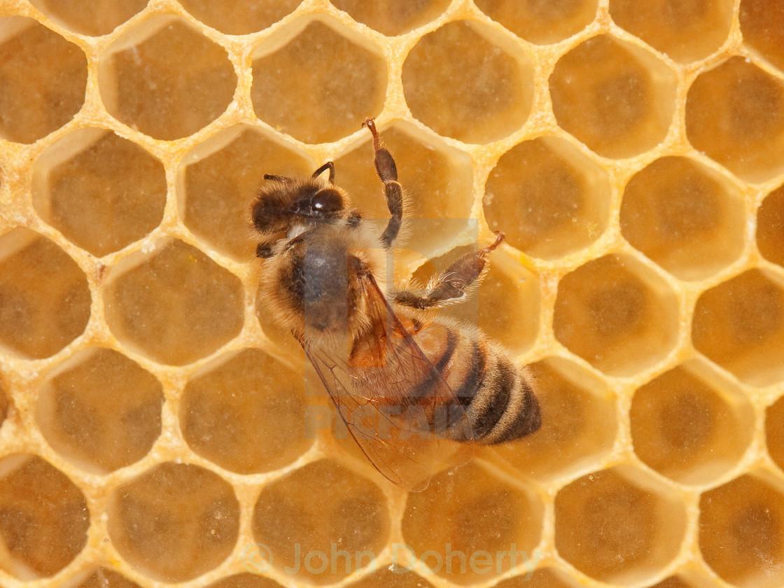 """Honey Bee on Honeycomb"" stock image"