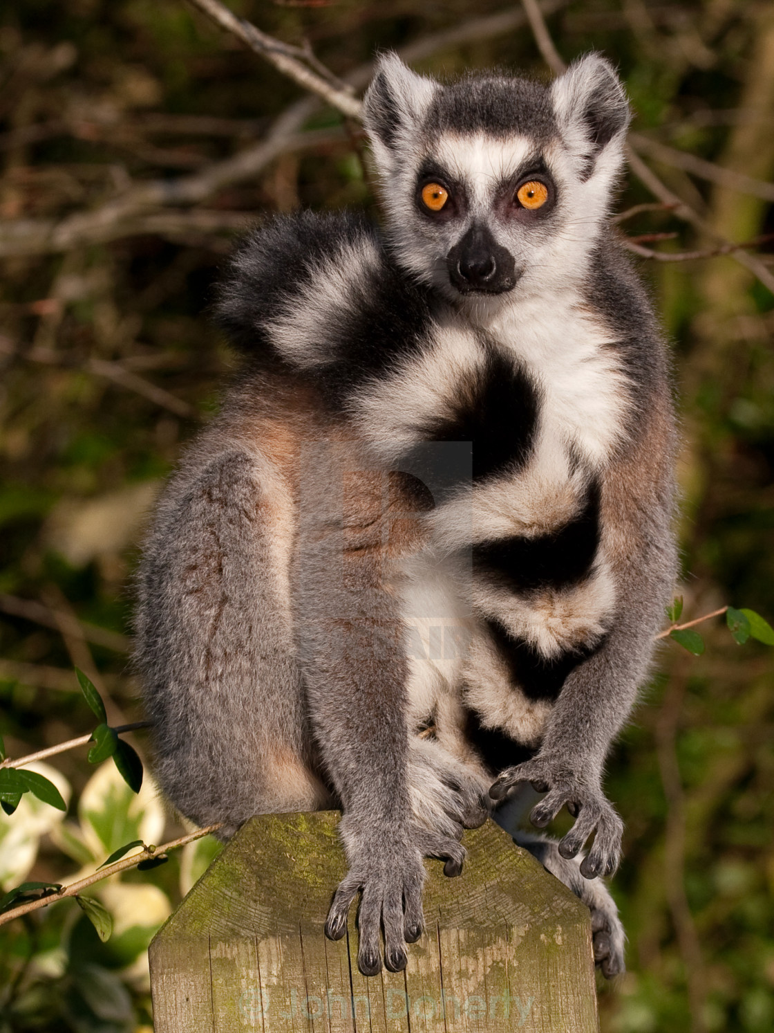 """""""Ring-tailed Lemur on Post"""" stock image"""