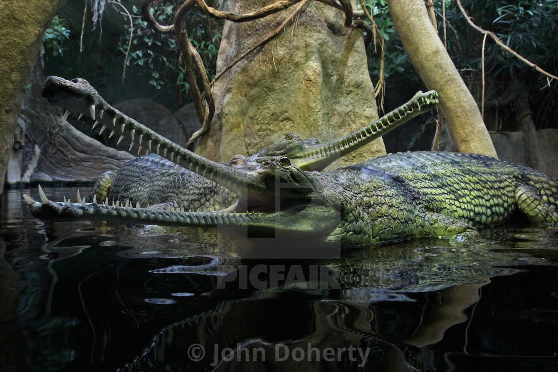 """Gharial Crocodiles Closeup 1"" stock image"