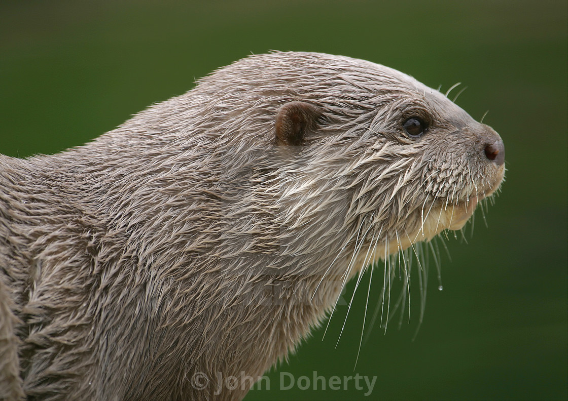 """Asian Short Clawed Otter"" stock image"