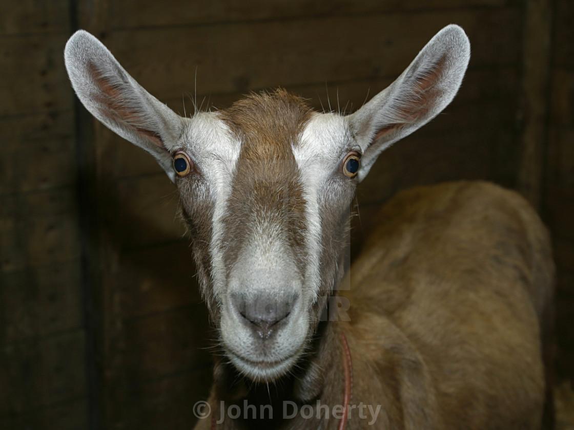 """Toggenburg Goat Closeup"" stock image"