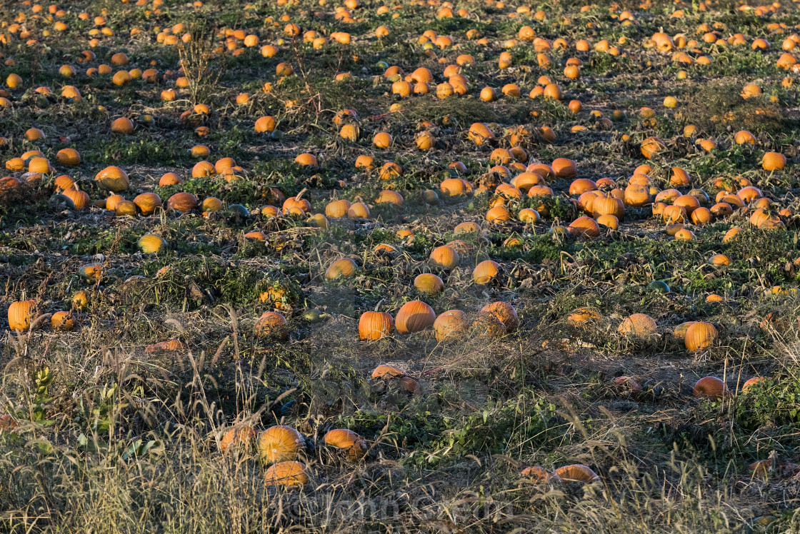 """Field of pumpkins ready to harvest, Newbury, Vermont, USA.."" stock image"