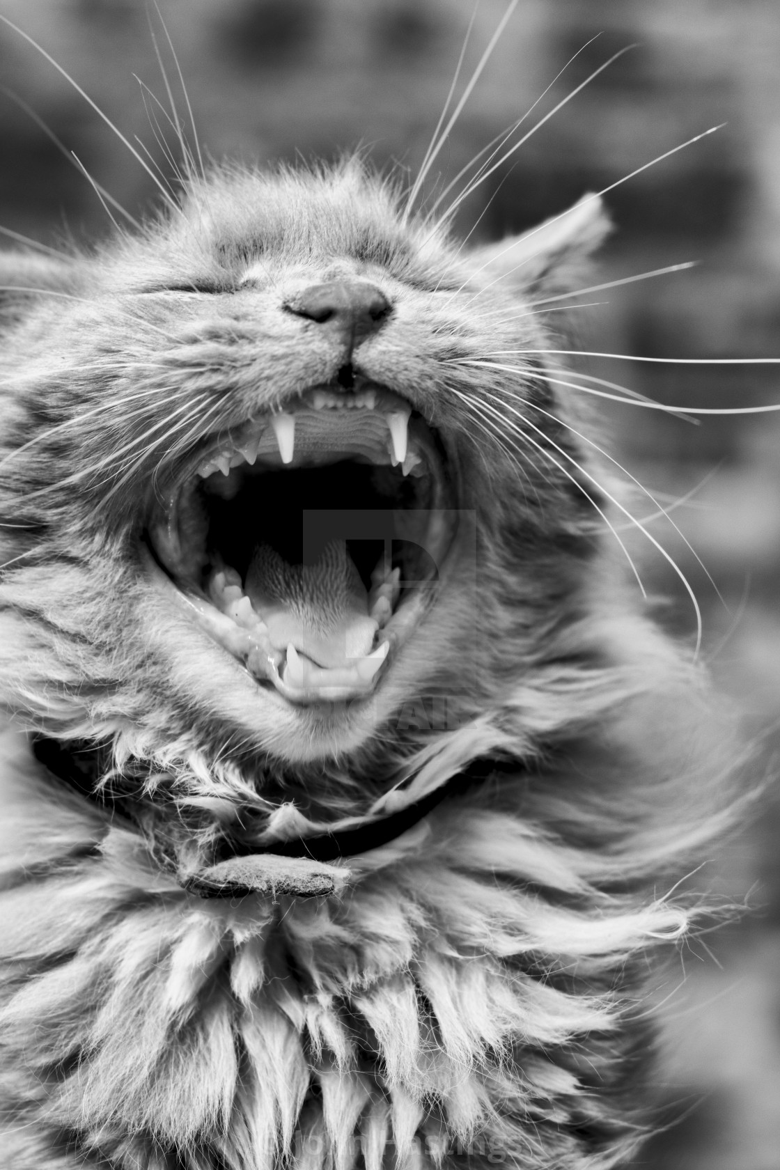 """Yawning cat"" stock image"