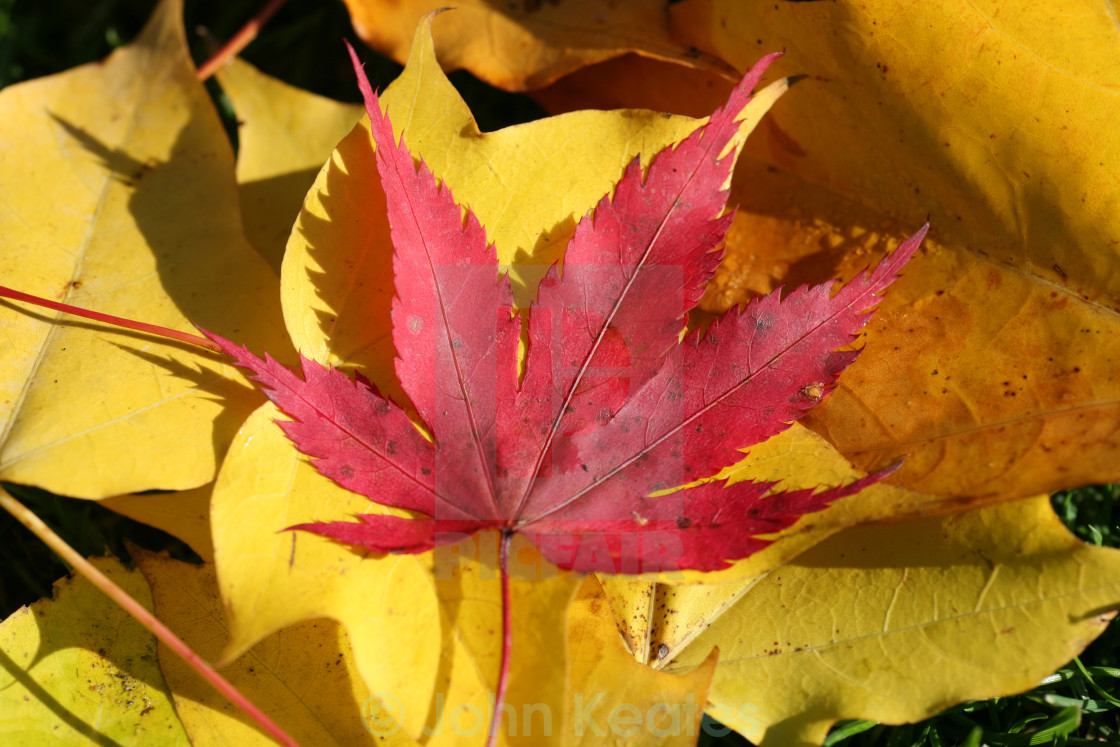 """red Maple or Acer leaf"" stock image"